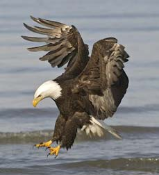bald eagle diving for fish - Missouri Vacations