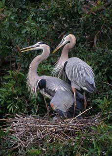 two blue herons - Missouri Vacations