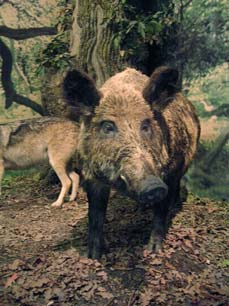 two wild boars - Missouri Vacations